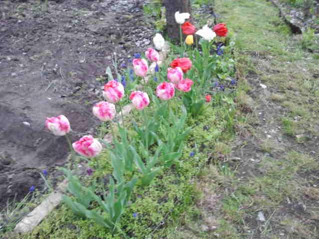 Falken Garten Tulpen